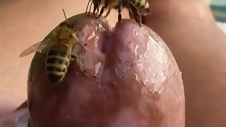 Bees licking cock